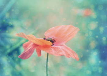 Beautiful red poppy in artistic soft colors with bokeh lights